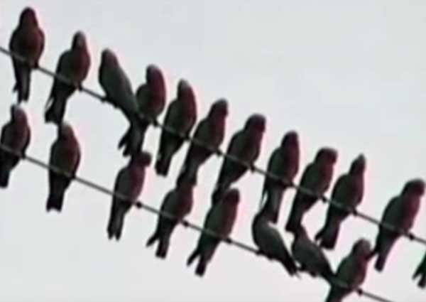 Galah Cockatoo on the Power Line